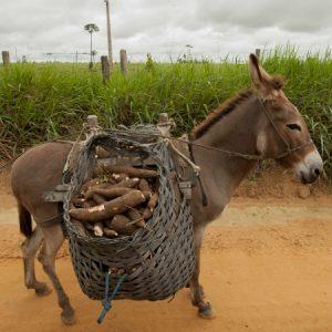 Transporte da mandioca em pequena propriedade paraense (Foto: Mayra Galha)