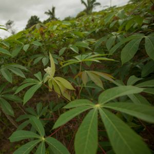 Plantação de mandioca em Altamira (PA) (Foto: Mayra Galha)