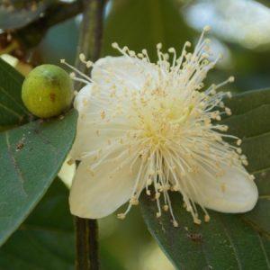 Flor delicada da goiaba. (Foto: Rachel Bonino)