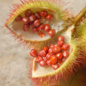 Sementes de urucum ainda frescas, dentro de sua cápsula peluda. (Foto: Rachel Bonino)