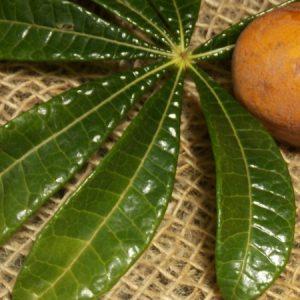 Detalhe da folha da variedade Jaracatia spinosa. (Foto: Rachel Bonino)