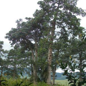Pé de jaracatiá plantado em Paraibuna (SP) e que é da variedade Jaracatia spinosa. (Foto: Rachel Bonino)