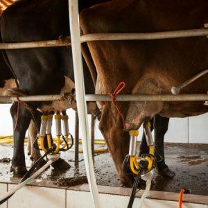 Primeira ordenha do dia: processo usa teteiras mecanizadas para evitar contaminação do leite. (Foto: Mayra Galha)