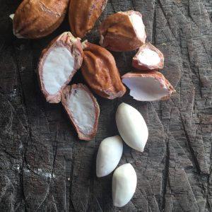 O formato da castanha de sapucaia lembra o do fruto do cacau