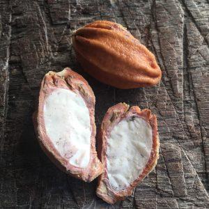 Castanha fresca de sapucaia é recoberta por casquinha. Crédito: Casa Ataré Lab